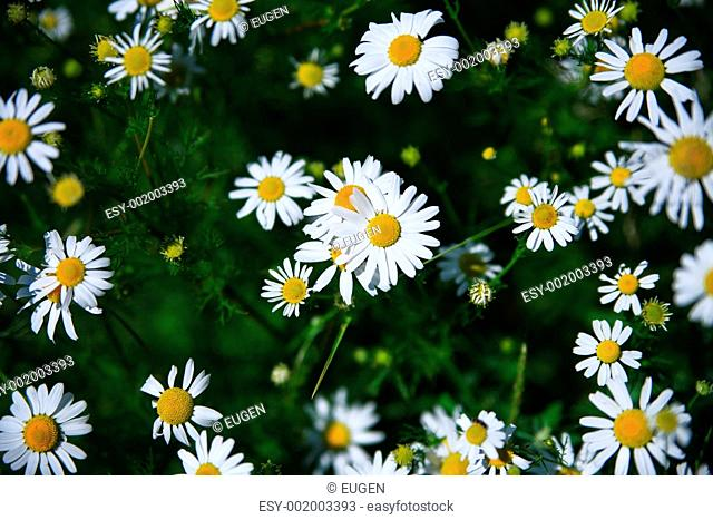 Spring grass field with many white daisies
