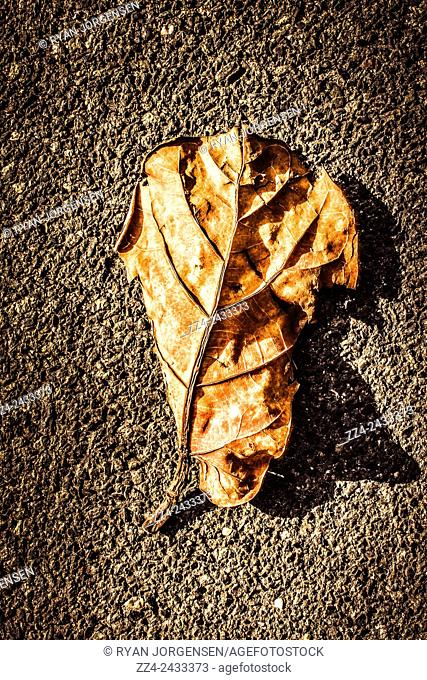 Vibrant HD image of a large decomposing autumn leaf on a roads surface. Fall of seasons