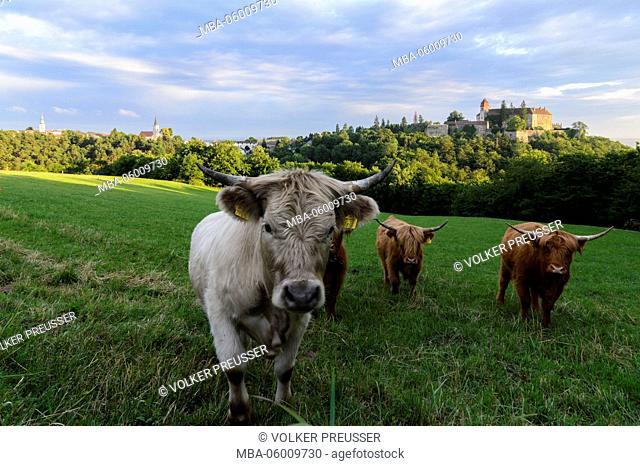 Scottish highland Cattles and a grey cattle cow at castle Bernstein, Austria, Burgenland, Bernstein