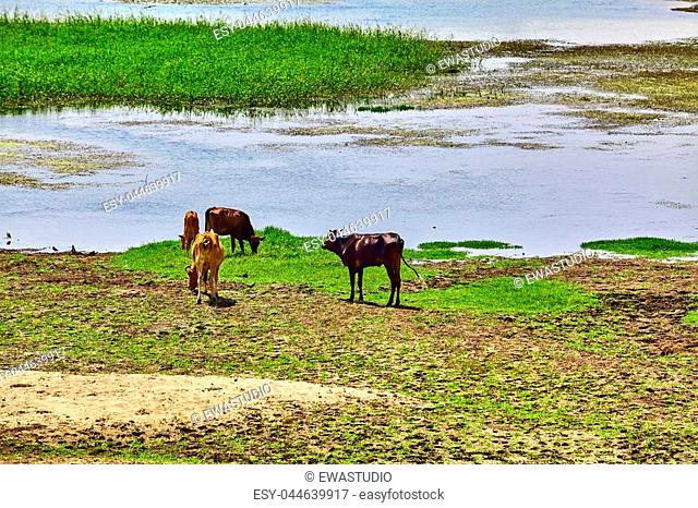 cow on river bank in egypt. River Nile in Egypt. Life on the River Nile