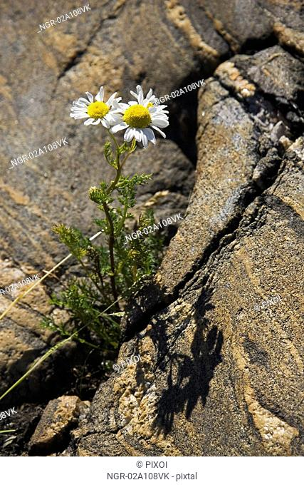 A Daisy growing out of a rock