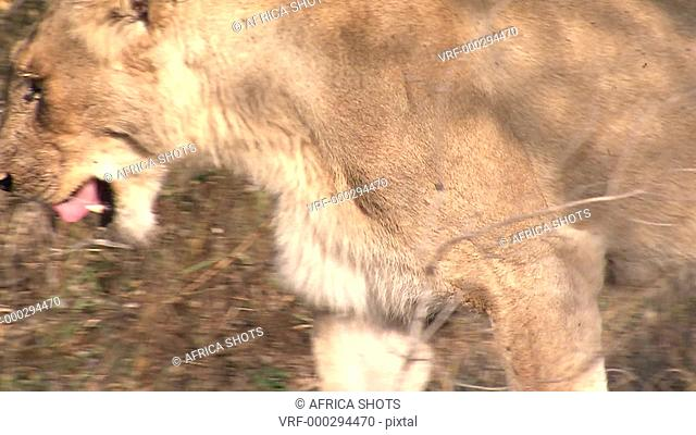 A Lioness, female Lion (Panthera leo) walking slowly in dry long grass licking her lips. African bushveld, dry winter grass. South Africa