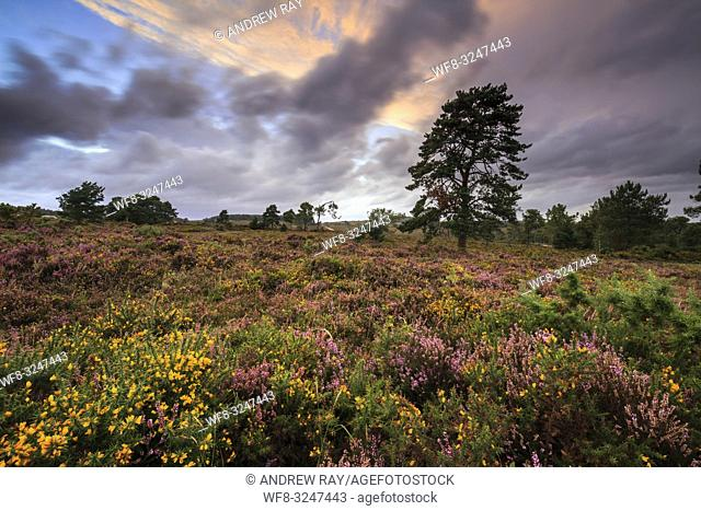 Woodbury Common in South East Devon, captured at sunset in early September when the heather and gorse was in bloom