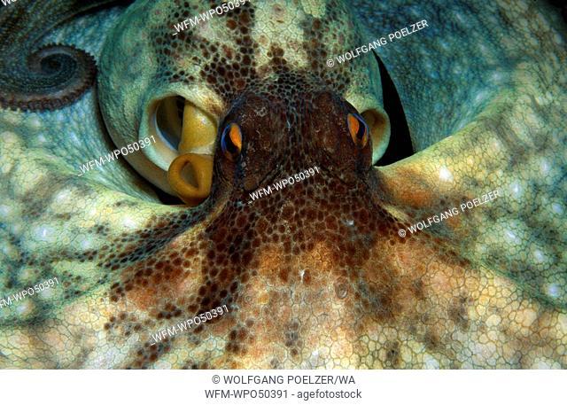 Common octopus, Octopus vulgaris, Costa Brava Mediterranean Sea, Spain