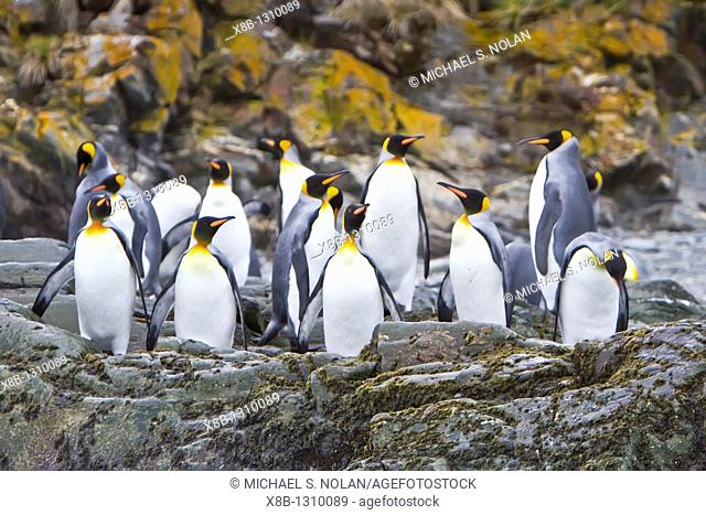 King penguin Aptenodytes patagonicus breeding and nesting colony Fortuna Bay on South Georgia Island, Southern Ocean  MORE INFO The king penguin is the second...