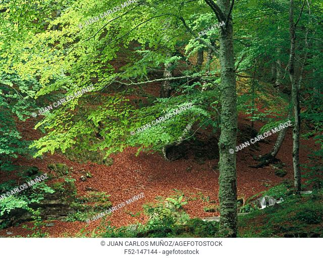 'Mata de Valencia' Forest in Parc Nacional d'Aigües Tortes. Lleida province. Catalonia, Spain