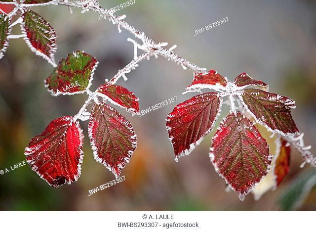 shrubby blackberry (Rubus fruticosus), iced blackberry leaves, Germany, Baden-Wuerttemberg, Black Forest