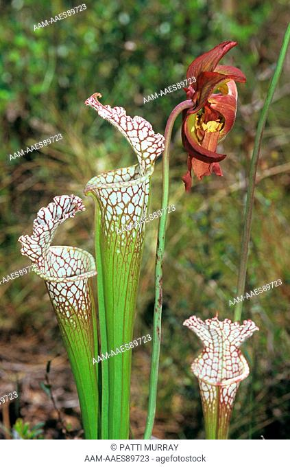 White-topped Pitcher Plant (Sarracenia leucophylla) Tate's Hell State Park, Florida