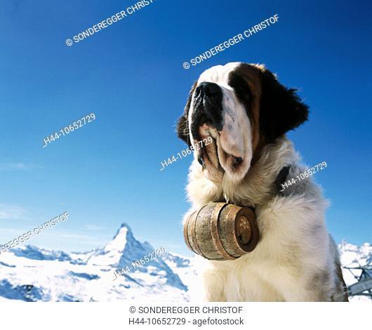 10652729, alpine, Alps, mountains, St. Bernard dog, barrel, dog, Matterhorn, landmark, mountain, Switzerland, Europe, portrait