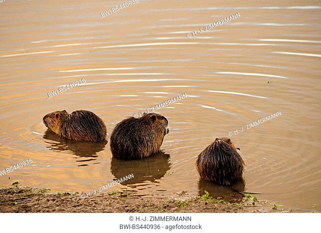 coypu, nutria (Myocastor coypus), three nutrias sitting on a shore, Germany, Rhineland-Palatinate