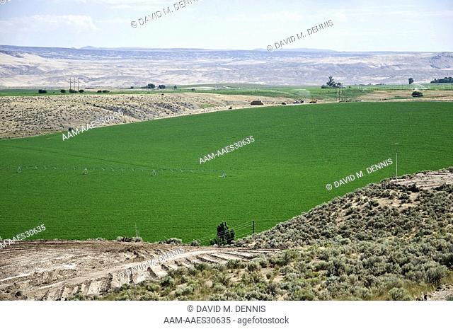 Alfalfa grown under irrigation, along the Snake River, near Glenns Ferry, Idaho