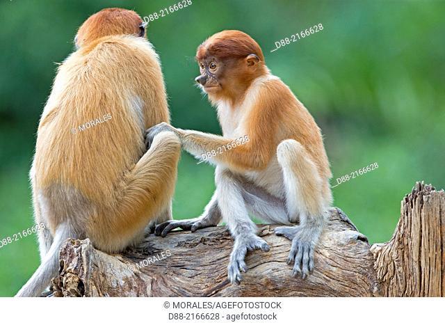 Asia,Borneo,Malaysia,Sabah,Labuk Bay,Proboscis monkey or long-nosed monkey (Nasalis larvatus)