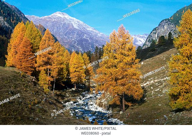 Vellember river. Larch trees.  Val Susauna. Switzerland