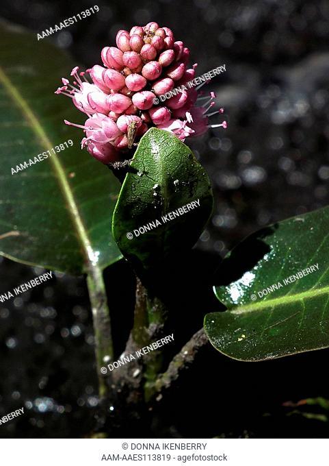 Water Smartweed, Persicaria amphibia, Lake Eileen, Weminuche Wilderness, Colorado, USA