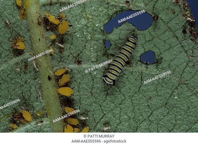 Monarch Butterfly Larva (Danaus plexippus) and Milkweed Aphids, NJ