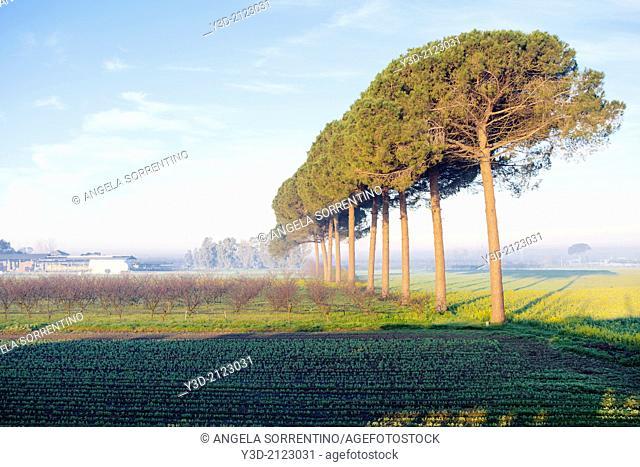 Italian Stone Pines in a Row