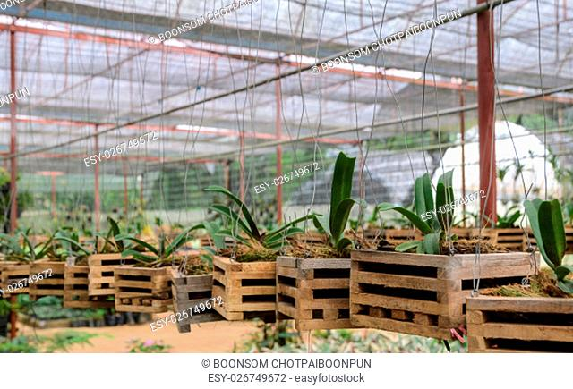 Vanda Orchid seedlings plant nursery in greenhouse