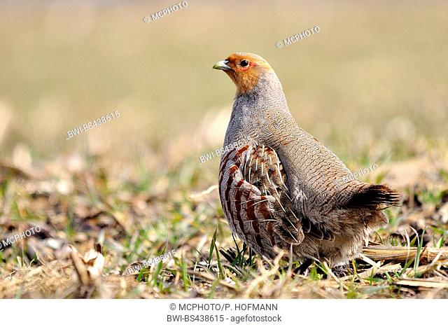 grey partridge (Perdix perdix), male, Germany