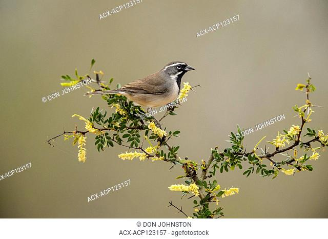 Black-throated sparrow (Amphispiza bilineata), Santa Clara Ranch, Starr County, Texas, USA