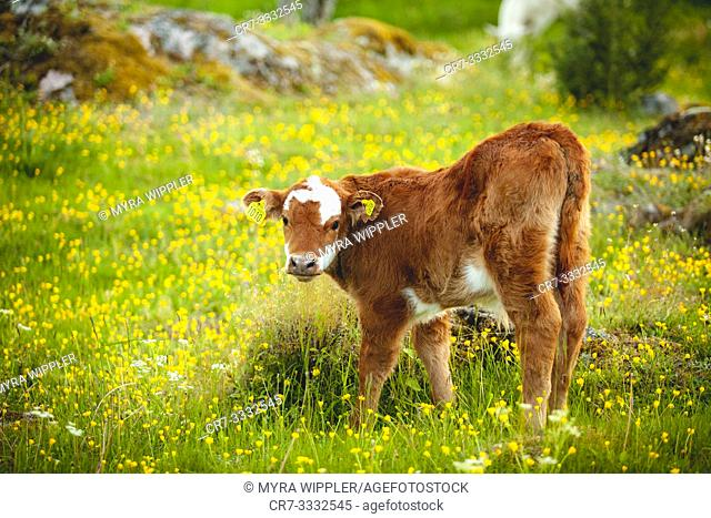 Brown white calf in summer pasture