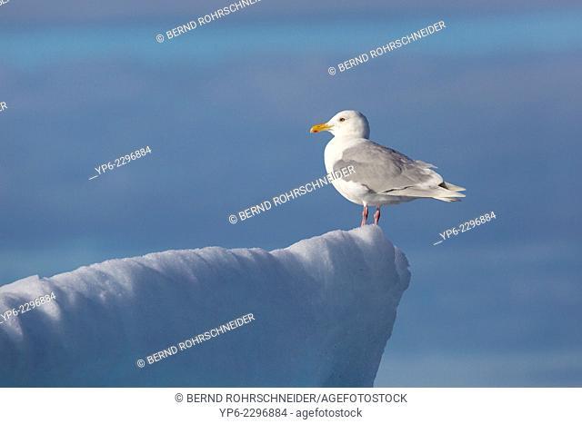 Glaucous Gull (Larus hyperboreus) standing on iceberg, Erik Eriksenstretet, Svalbard
