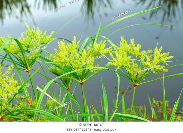 The flower of Cyperus odoratus L. (papyrus)