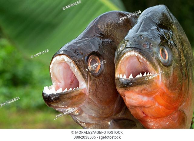 South America ,Brazil, Amazonas state, Manaus, Amazon river basin, along Rio Negro , Red-bellied piranha or red piranha (Pygocentrus nattereri) and Redeye...