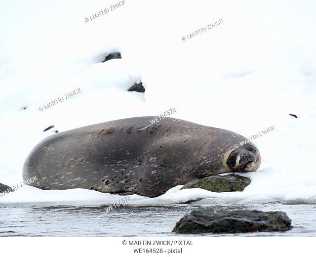 Weddell Seal (Leptonychotes Weddellii), rain and snow in Larsen Harbour. Larsen Harbour is the northermost colony of Weddell Seals worldwide