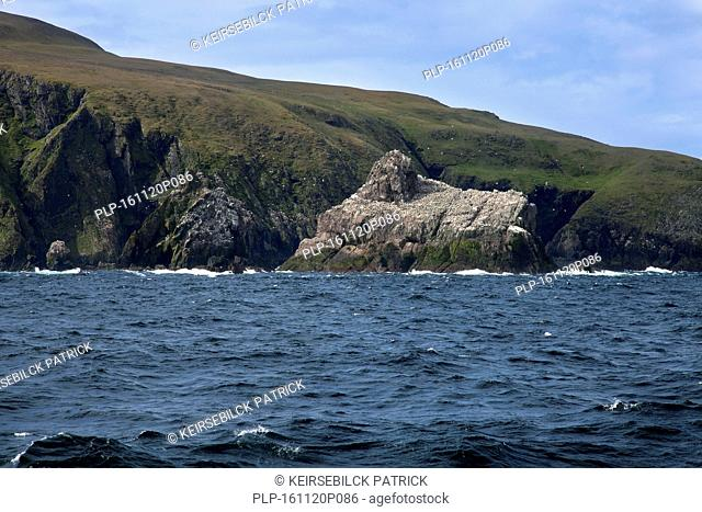 Gannetry, breeding colony of Northern gannets (Morus bassanus / Sula bassana) on Outer Stack, Fair Isle, Shetland, Scotland