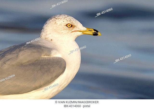 Ring-billed gull (Larus delawarensis), portrait, Galveston, Texas, USA