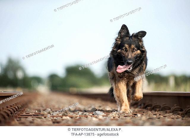 walking Old German Shepherd
