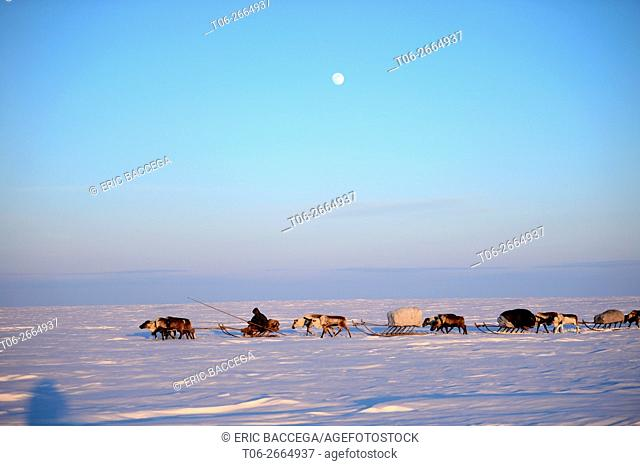 Nenets herder driving a train of Reindeer (Rangifer tarandus) sleds on his spring migration in the tundra, Yar-Sale district, Yamal, Northwest Siberia, Russia