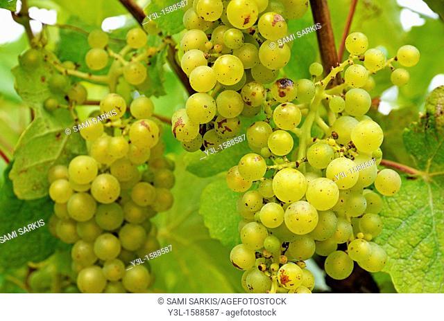 White grapes on vine, Provence, France