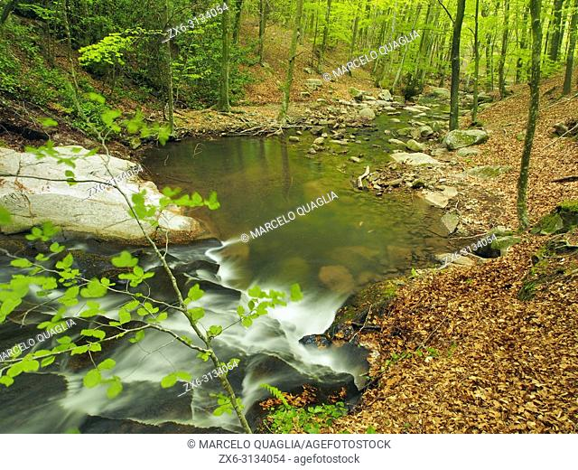 Gualba stream and beech forest (Fagus sylvatica) below Santa Fe dam. Montseny Natural Park. Barcelona province, Catalonia, Spain
