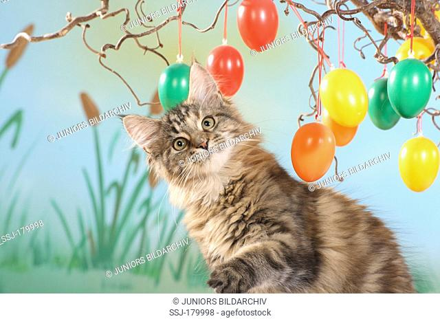 Maine Coon sitting while playing with colourful Easter eggs