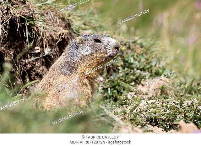Nature - Fauna - Marmot - Marmot at the entry of its burrow in the natural regional park of Queyras