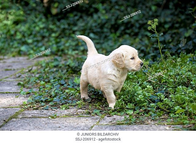 Golden Retriever. Puppy (4 weeks old) walking on a terrace with Ivy. Germany