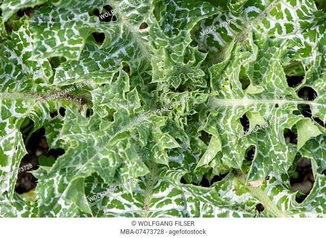 Holy thistle as a medicinal plant for natural medicine and herbal medicine