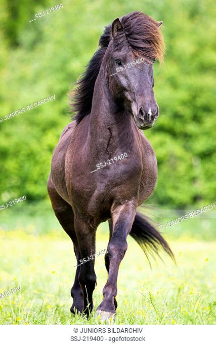 Icelandic Horse. Black gelding walking on a pasture. Austria