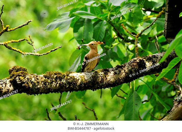 hoopoe (Upupa epops), on a branch with feed in the bill in front of a nesting box, Germany
