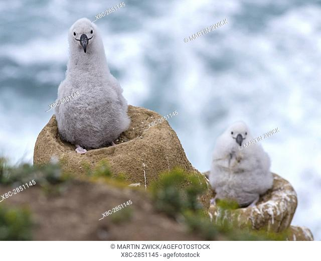 Black-browed Albatross ( Thalassarche melanophris ) or Mollymawk, chick on tower shaped nest. South America, Falkland Islands, January