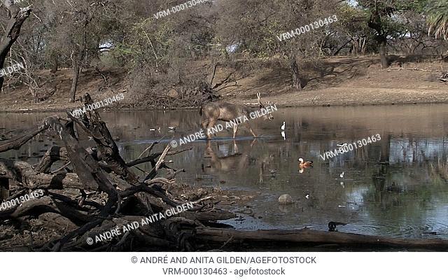 Sambar Deer (Cervus unicolor) walking through water