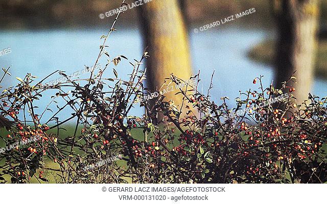 Blackbird, turdus merula, Female in Flight near a Cotoneaster, Normandy, Slow motion