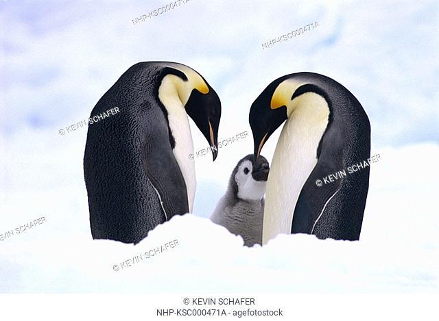 EMPEROR PENGUIN Aptenodytes forsteri pair with young Antarctica