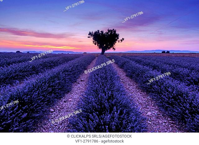 Shortly after sunset among the lavender fields, Valensole, Provence, France