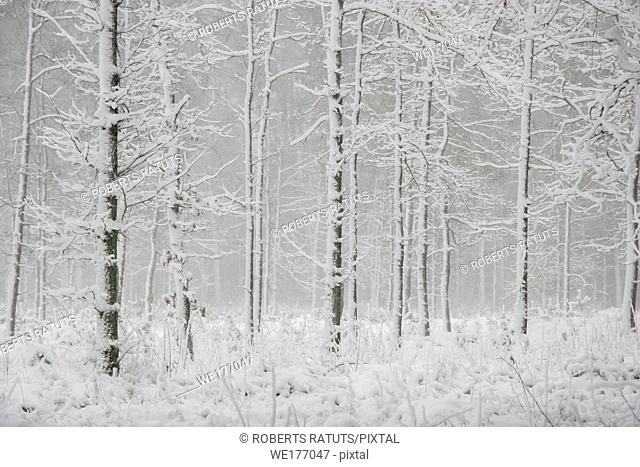 Beautiful landscape of the forest on a cold winter day with trees covered with snow. Snowfall in the forest in Latvia. Winter in forest