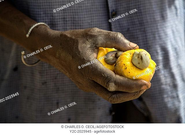 Cashew Nut Farmer Holding Yellow Cashew Apple, near Sokone, Senegal