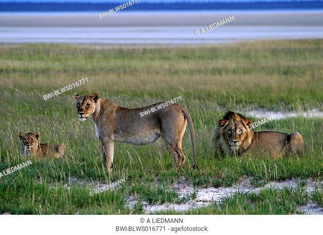 lion Panthera leo, family, Namibia
