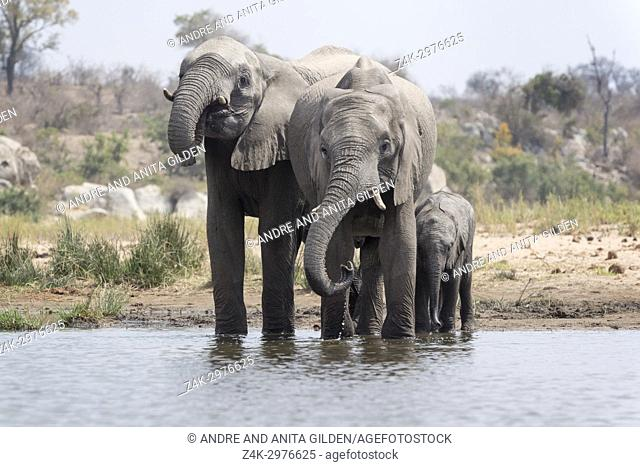African Elephant (Loxodonta africana) herd drinking at waterhole, Kruger National Park, South Africa