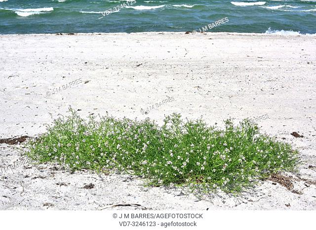 Sea rocket (Cakile maritima) is an annual plant native to coasts of Europe, northern Africa and western Asia. This specimen is from the subspecies baltica